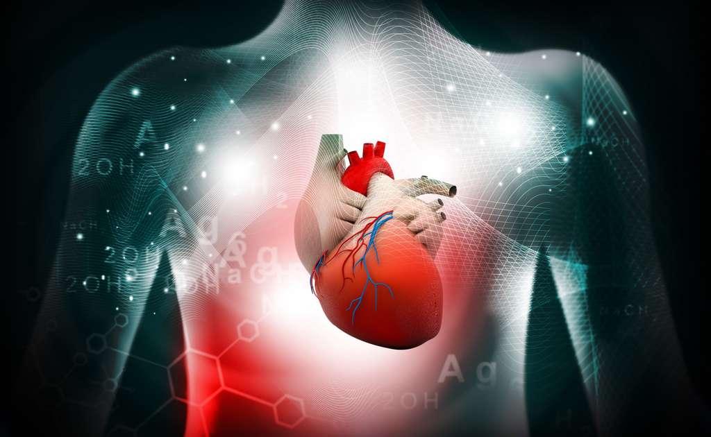 Le cœur comprend un ventricule droit, qui envoie le sang dans la circulation pulmonaire, et un ventricule gauche, qui envoie le sang dans la circulation générale. © bluebay2014, Fotolia