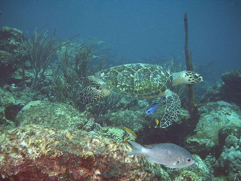 Tortue imbriquée dans les fonds marins vénézuéliens. © PSE, GNU FDL Version 1.2