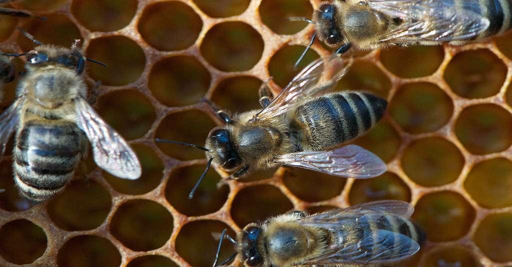 Des ouvrières au travail dans une ruche. © Antoine Bovard, CC by-sa 3.0