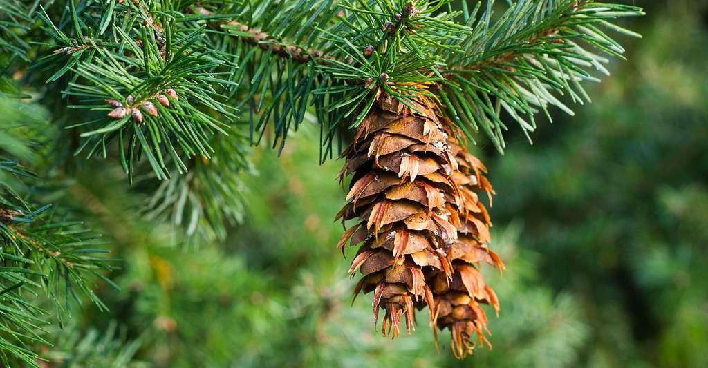Pin douglas Pseudotsuga menziesii. © Srekap, Shutterstock