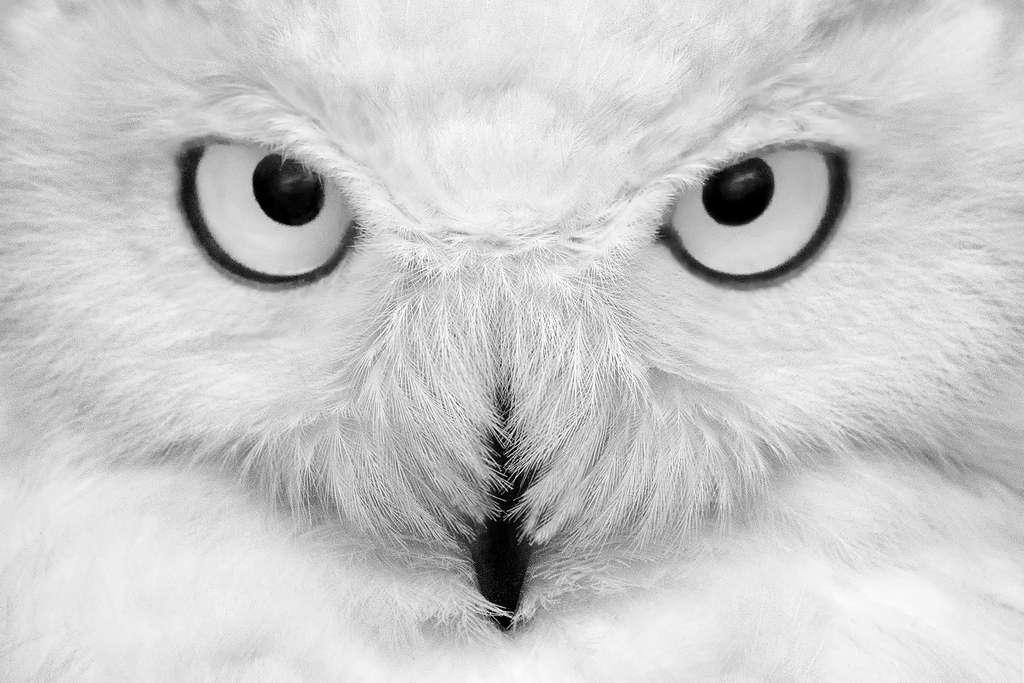Magnifique : un harfang des neiges, droit dans les yeux