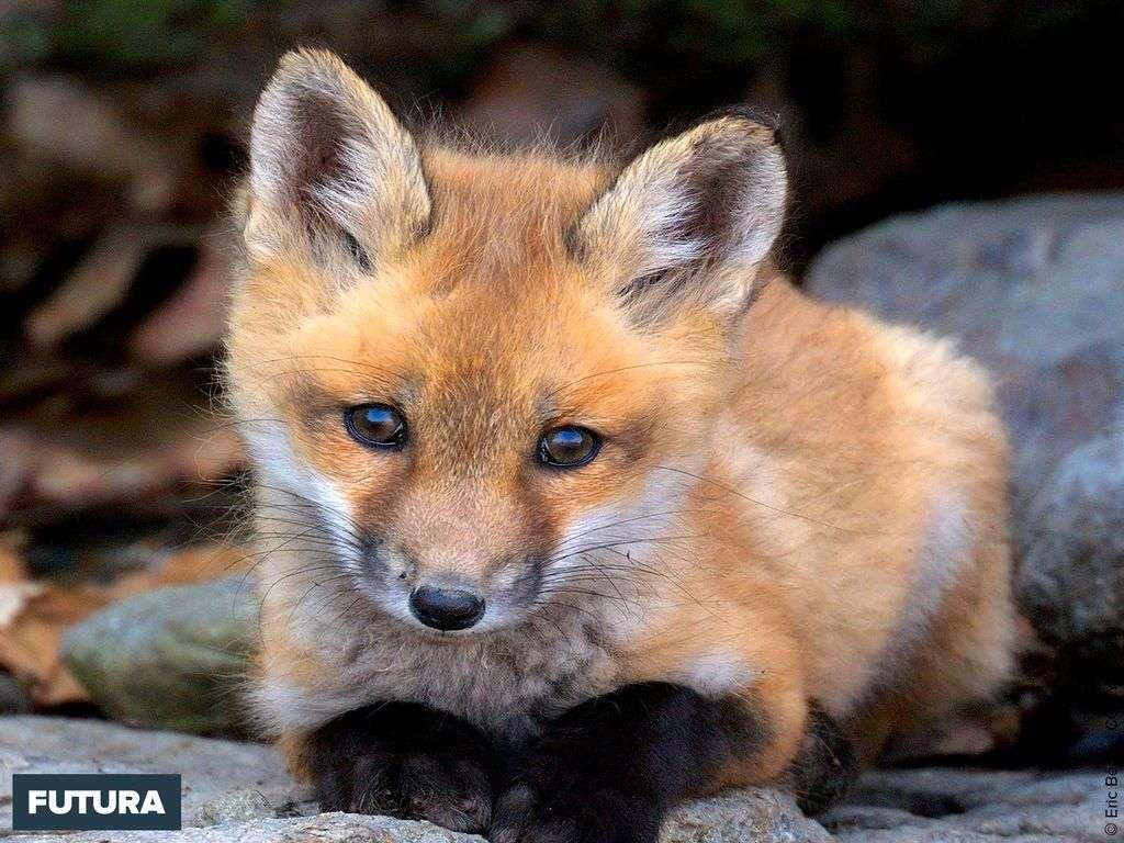 Jeune renard roux