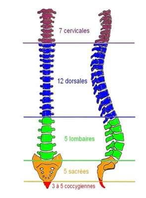 Schéma de la colonne vertébrale. Source : http://www.biendanssondos.fr