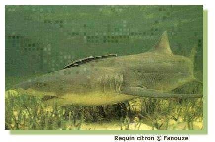 Comment se nourrit un requin ? © Fanouze
