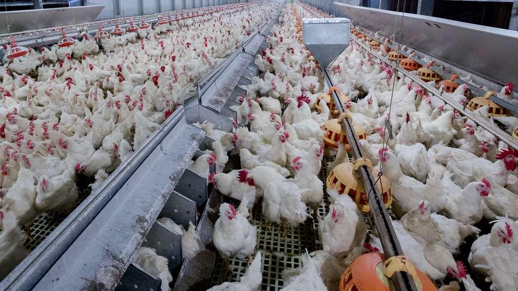 L'élevage industriel, un réservoir à zoonoses. © chayakorn, Adobe Stock