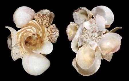 Fig. 7 Xenophora conchyliophora © Jean-Pierre Pointier - Tous droits réservés