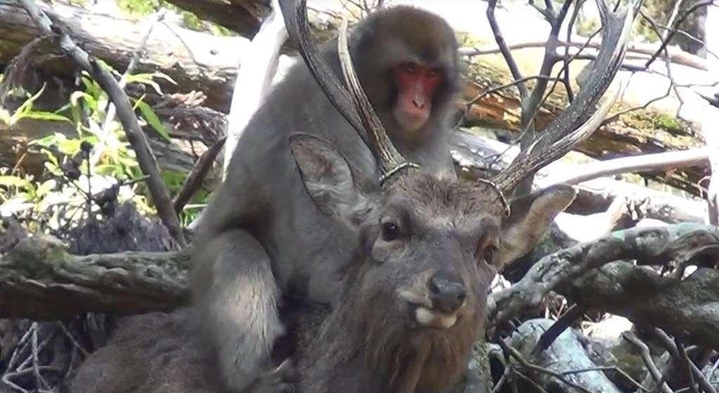 Les chercheurs canadiens imaginent que le comportement étonnant des femelles macaques peut servir d'exutoire à leur frustration sexuelle. © Noëlle Gunst, université de Lethbridge