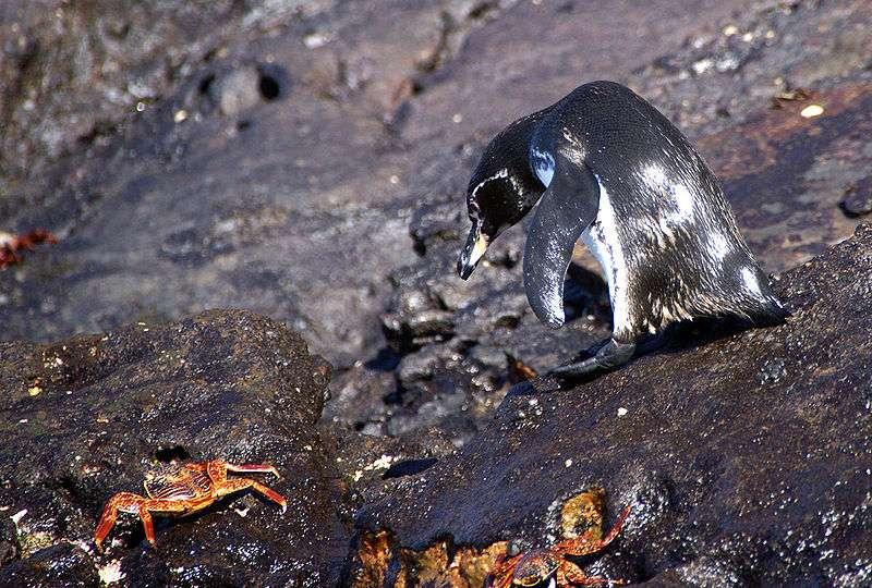 Manchot et crabes. © putneymark, CC by-SA 2.0