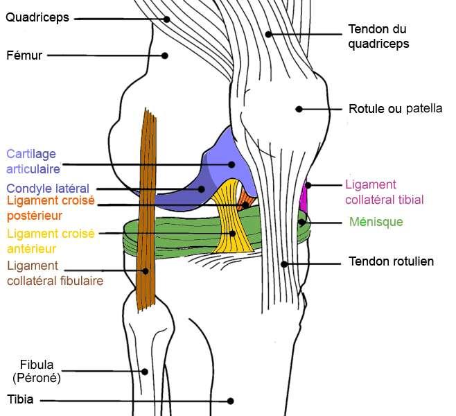 Ce schéma du genou semble dépassé. Il faut désormais rajouter le ligament antérolatéral qui prend son origine à côté du ligament collatéral fibulaire (en marron) au niveau du fémur, et part en travers pour s'insérer à son autre extrémité au niveau du tibia. © Dimdle, Wikipédia, cc by sa 3.