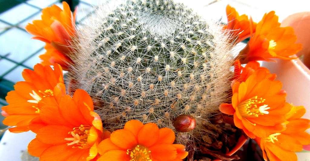 Rebutia fiebrigii en fleurs. © George7cal, CC by 3.0