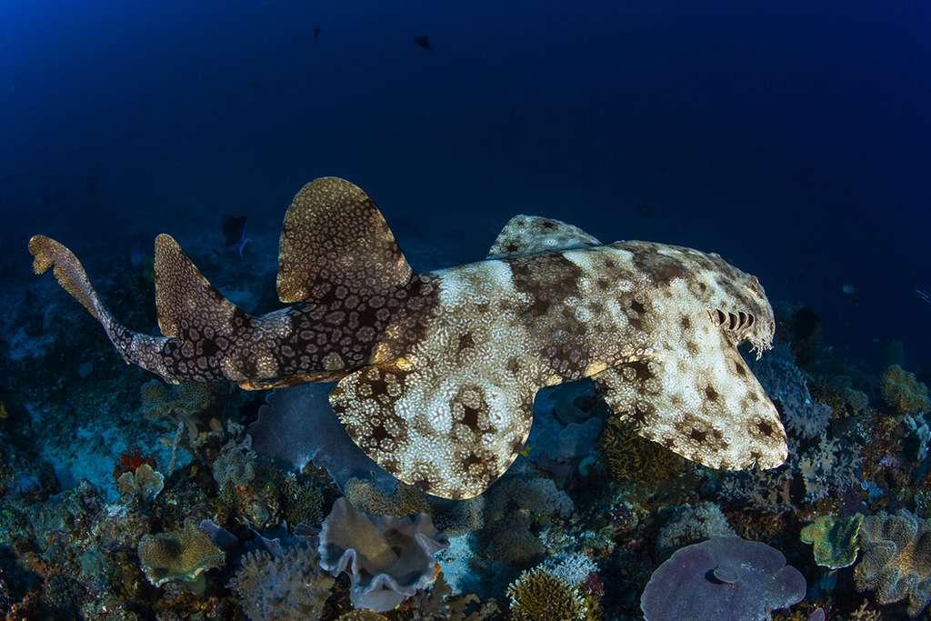 Poisson atypique, le requin-tapis barbu a des airs d'animal préhistorique. © Gabriel Barathieu, tous droits réservés