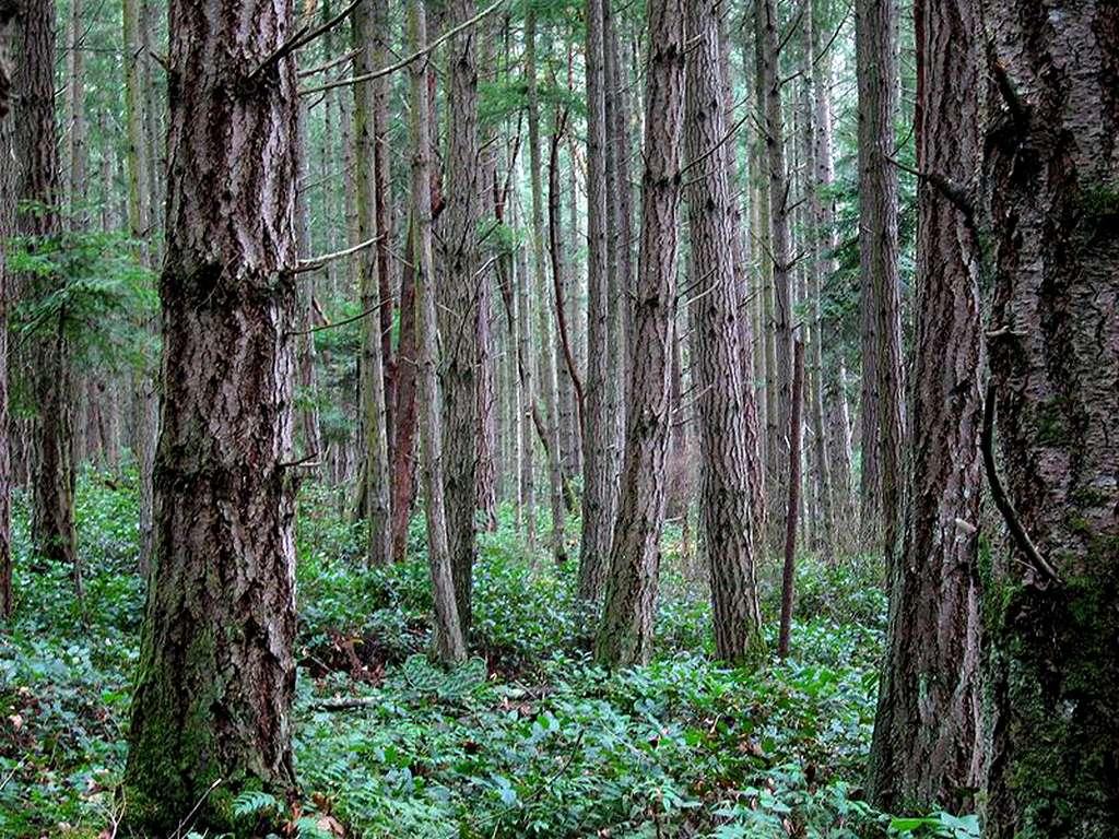 Forêt tempérée de résineux San Juan Island, États-Unis. © Quadell lic. CCP2.5
