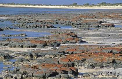 Stromatolites de Shark Bay. © C. König, DR