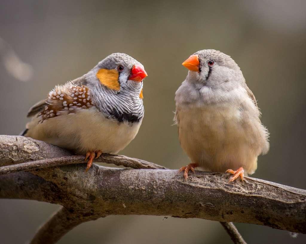Ces pinsons zébrés parents sont-ils en train de négocier pour savoir lequel des deux incubera l'œuf ? © pelooyen, Adobe Stock