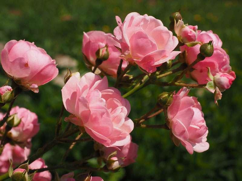 Roses au parfum subtil. © Hans, Pixabay, DP