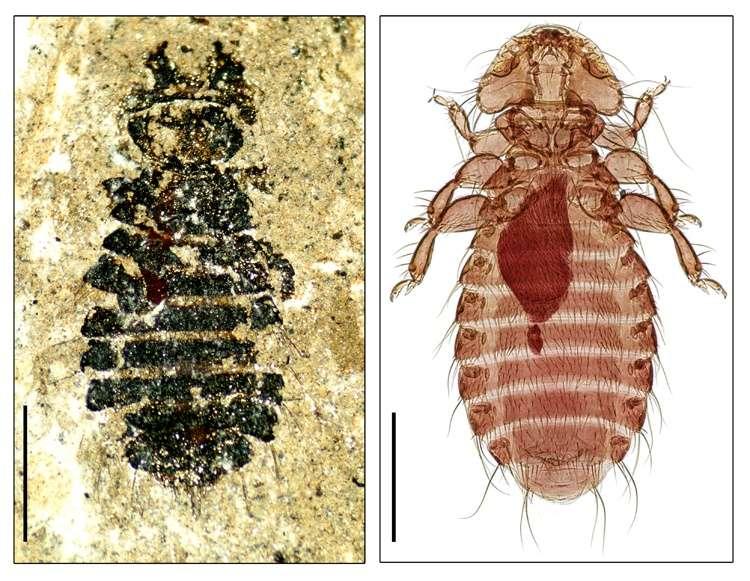 Les fossiles de puces et les génomes des puces actuelles ont permis de conclure que ces insectes existent depuis plus de 115 millions d'années ! © Université de l'Illinois