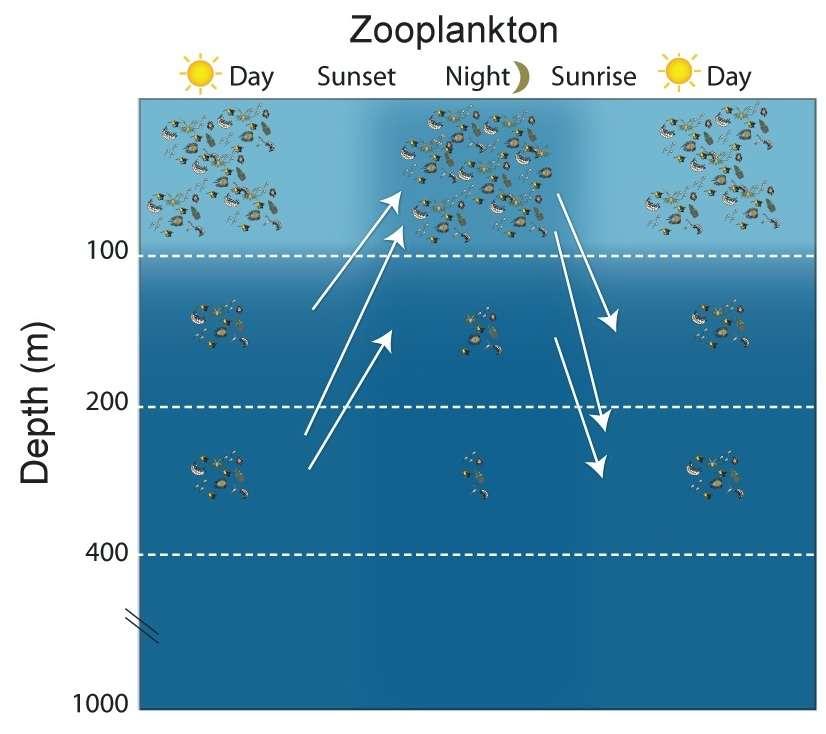 Chaque jour, le zooplancton (les animaux planctoniques) monte au coucher du soleil (sunset) vers la surface où il passe la nuit à manger (night) et descend jusqu'à 100 m ou davantage au lever du soleil (sunrise). © IRD-SPC