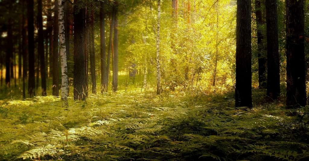 Rayon de soleil en forêt. © Larisa-K - Domaine public