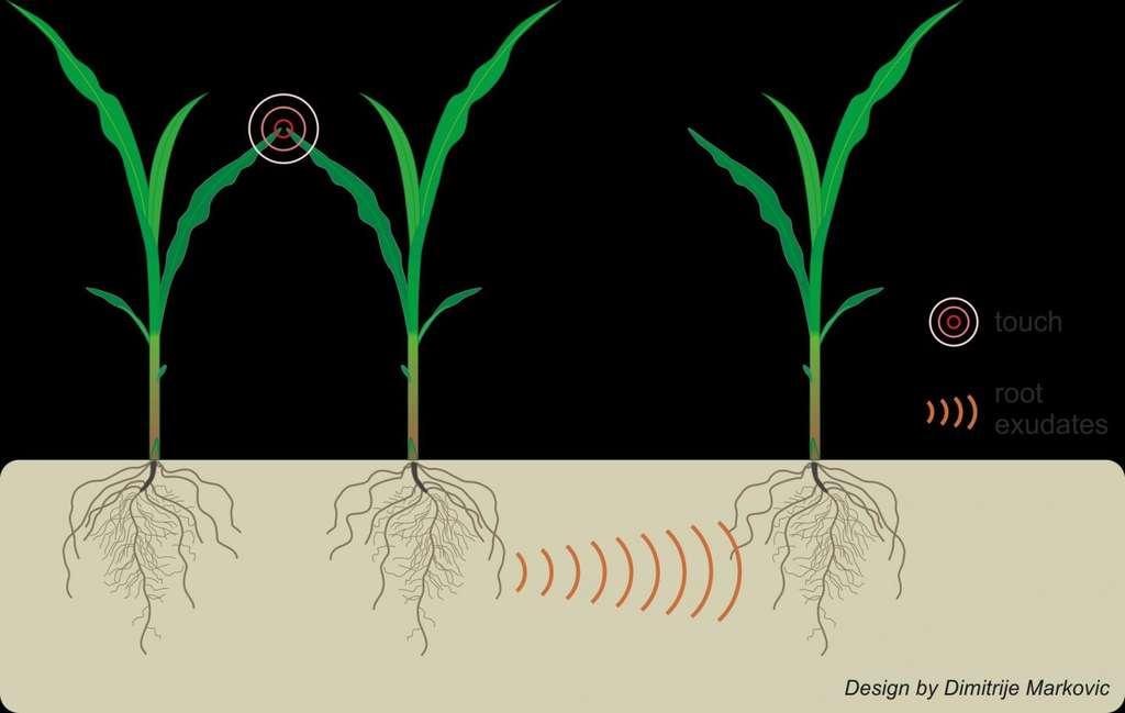 Les interactions entre plantes voisines au-dessus du sol conduisent à des signaux émis par les racines dans le sol. © Elhakeem et al. (2018), CC-BY