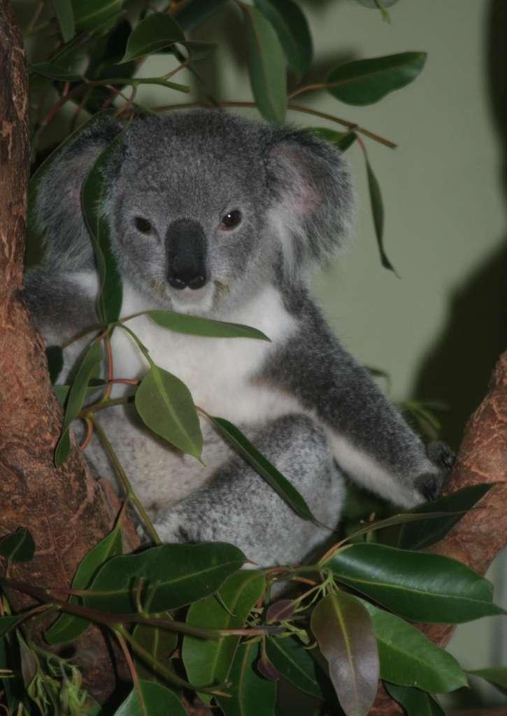 De nombreux koalas évoluent depuis des années dans le parc national de Kakadu, recouvert de jungle. © DR