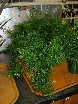 L'asperge de Spenger (Asparagus densiflorus) est une plante ornementale appréciée pour son l'allure étrange. Elle le sera bientôt aussi pour ses vertus dépolluantes. ©UGA
