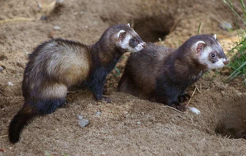 Couple de putois. © Malene Thyssen, GNU FDL Version 1.2
