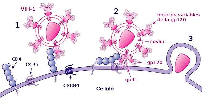 Le co-recepteur CCR5 est nécessaire dans l'étape de reconnaissance entre le VIH et la cellule. © Sanao / Licence Creative Commons