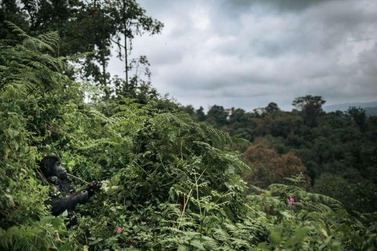 Des gorilles (à gauche) dans la forêt du parc national de Kahuzi-Biega en République démocratique du Congo, le 30 septembre 2019. © Alexis Huguet, AFP