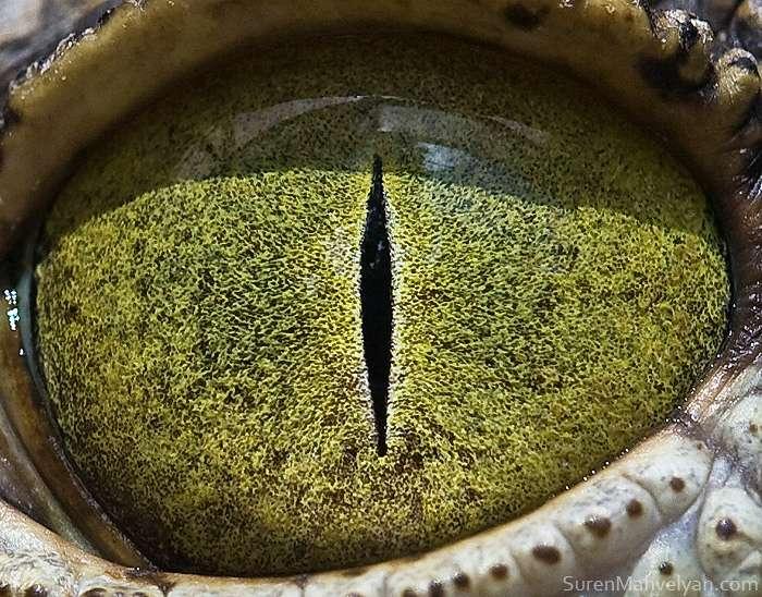 L'œil jaune du crocodile du Nil