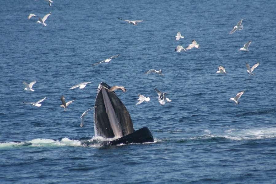 Pour se nourrir, les baleines à bosse entourent un banc de poissons, plongent et larguent de l'air par leur évent. Les bulles d'air confinent les poissons et permettent aux baleines d'en avaler des milliers en une seule goulée. Or, d'autres techniques de chasse sont développées et transmises… © Jennifer Allen, Whale Center of New England