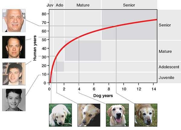 Pour déterminer l'équivalent humain de l'âge de votre chien, trouvez son âge sur l'axe horizontal et remontez jusqu'à la courbe rouge, puis rejoignez l'axe vertical. © Tina Wang, Cell Press