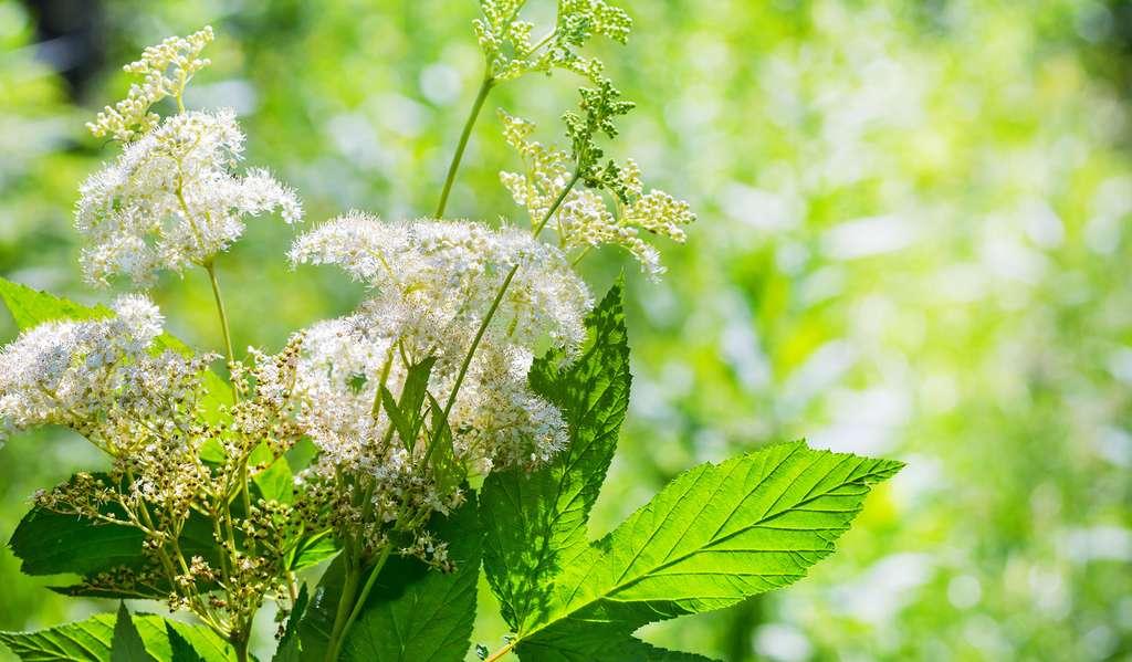 La reine-des-prés est aussi connue sous le nom d'herbe à abeilles. C'est dire si ces insectes pollinisateurs les apprécient tout particulièrement. © Starover Sibiriak, Fotolia