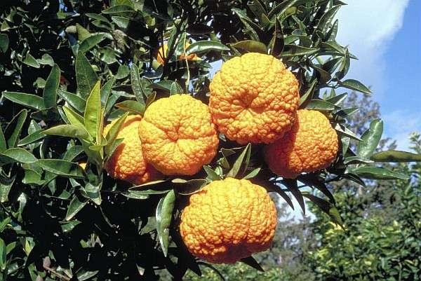 L'étonnante mandarine Yellow King