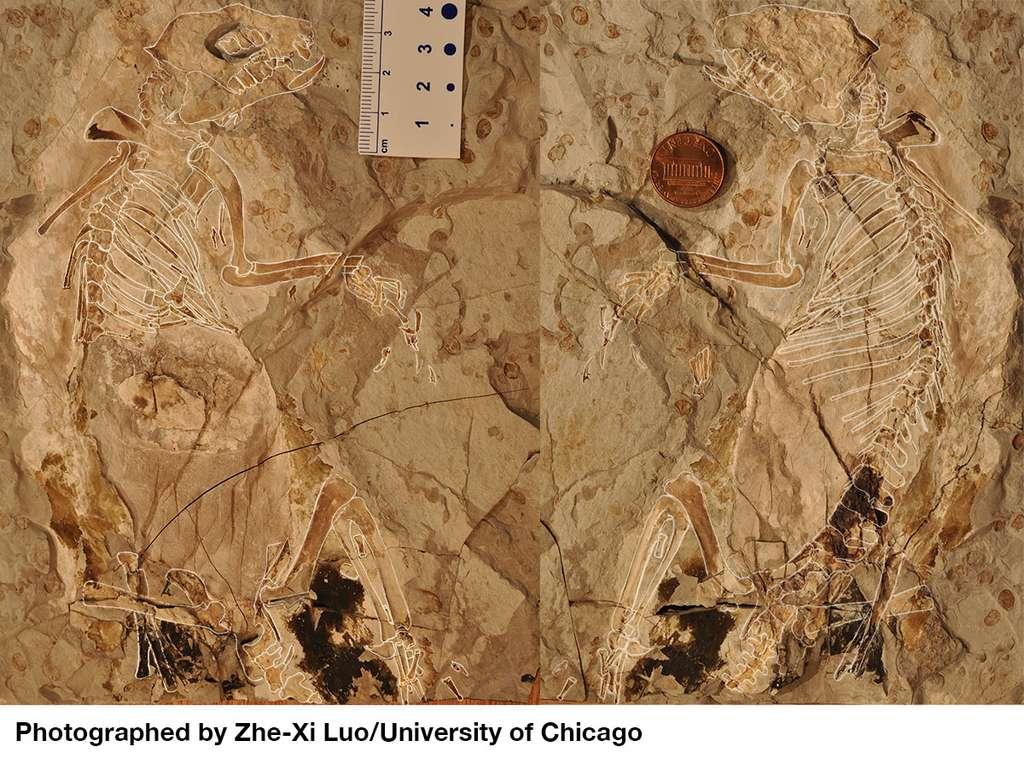 Le fossile parfaitement conservé de Megaconus mammaliaformis fait maintenant partie des collections du Musée paléontologique du Liaoning (Chine). © Zhe-Xi Luo, université de Chicago
