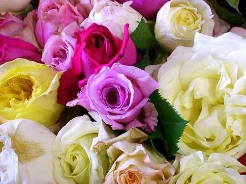 La rose, un classique, restera la reine de nos jardins. © Chris230 / Flickr - Licence Creative Common (by-nc-sa 2.0)