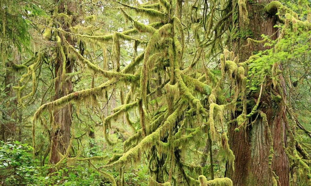 La région de Tofino est couverte d'une belle forêt primaire. © Antoine - Tous droits réservés