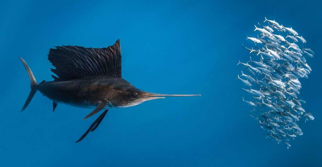 L'incroyable vitesse de pointe du poisson-voilier