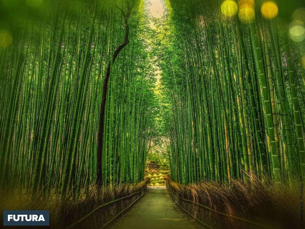 Le bambou est une herbe géante apparue il y a 200 millions d'années