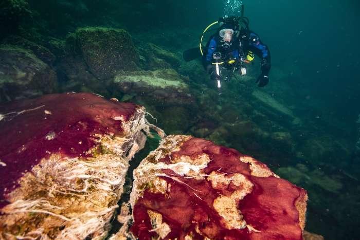 Un plongeur observe les tapis microbiens au niveau du Middle Island Sinkhole, dans le lac Huron. © Phil Hartmeyer, Noaa Thunder Bay National Marine Sanctuary