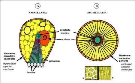 Les capsules centrales sont représentées en coupe. A. perforations localisées à un pôle, délimitant la base du podocône : Nassellaires. B : perforations réparties sur toute la surface de la capsule centrale : Spumellaires. a : pores répartis dans des champs polygonaux. b : pores uniformément répartis sur toute la surface de la capsule centrale.
