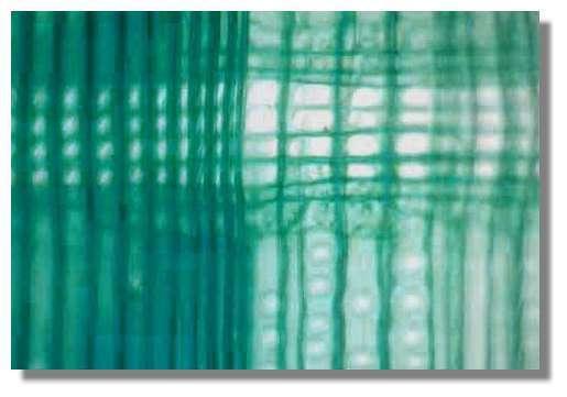 Figure 13. Coupe longitudinale radiale de bois de pin à la limite de deux cernes. On distingue le bois d'été d'une année n à gauche et le bois de printemps de l'année n+1 à droite. Les éléments verticaux (trachéides) et horizontaux (rayons) communiquent par des ponctuations simples au niveau de champs de croisement. © Photo R. Prat