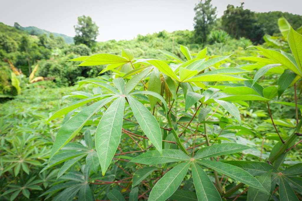 Le manioc est l'une des toutes premières espèces cultivées par l'Homme. © Engdao, Adobe Stock