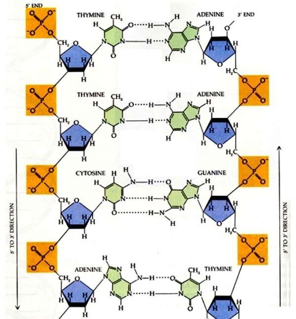 Sur ce schéma montrant la composition chimique d'un brin d'ADN, on voit clairement les atomes de phosphore, P, dans les carrés orange. Ce sont ces atomes de phosphore qui sont remplacés par de l'arsenic par la bactérie du lac Mono. © www.bioinformatique.eu