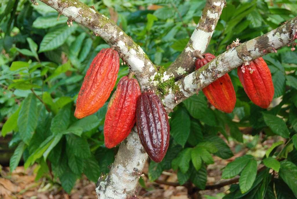 Cabosses sur les grosses branches du cacaoyer. © S. Bonnat