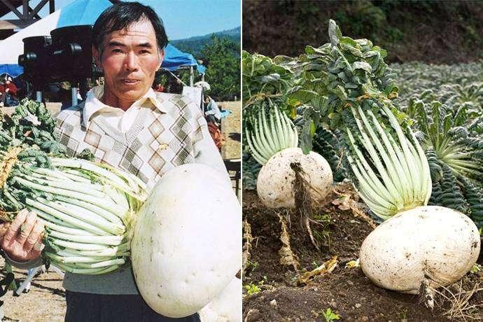 Très appréciés au Japon, les radis font l'objet d'une compétition chaque année qui récompense, selon les catégories, les plus beaux, étonnants, goûteux et aussi les plus gros ! © Guinness World Record
