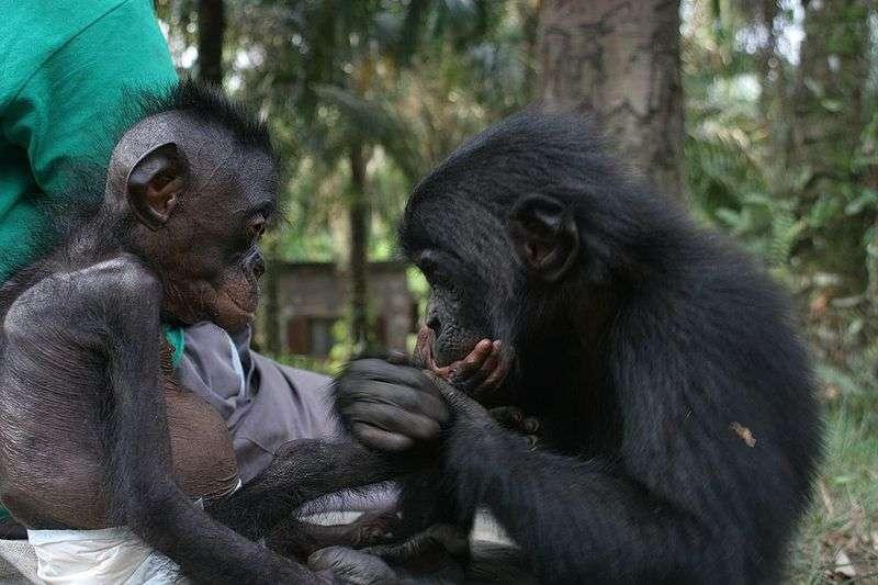 Un jeune orphelin, nommé Lomela, est réconforté par un autre bonobo. © DP
