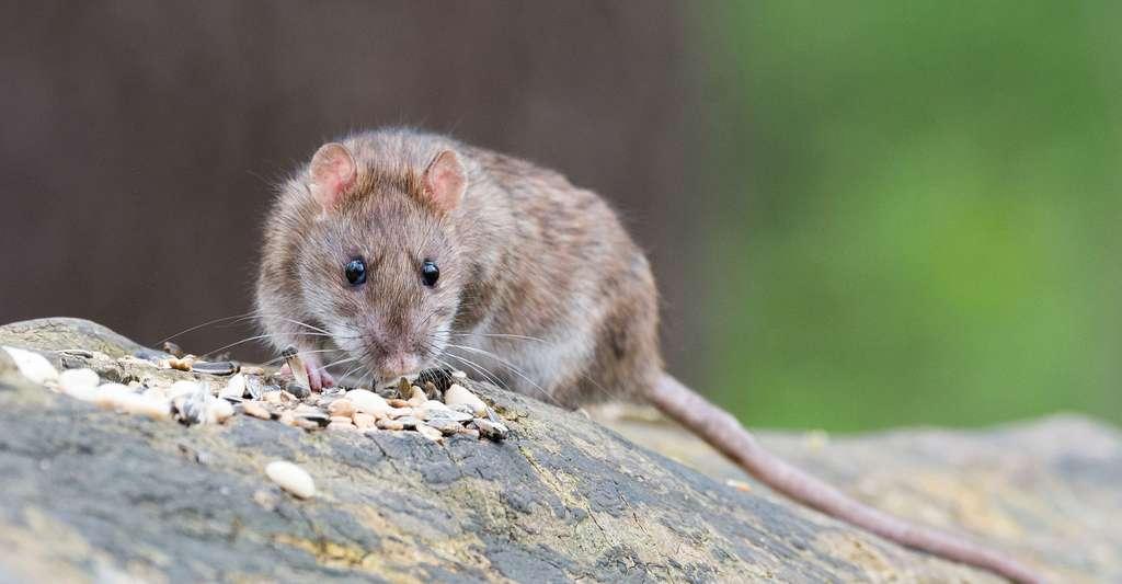 Ici, l'on voit bien les vibrisses du rat. © Wolfgang Vogt, Pixabay, DP