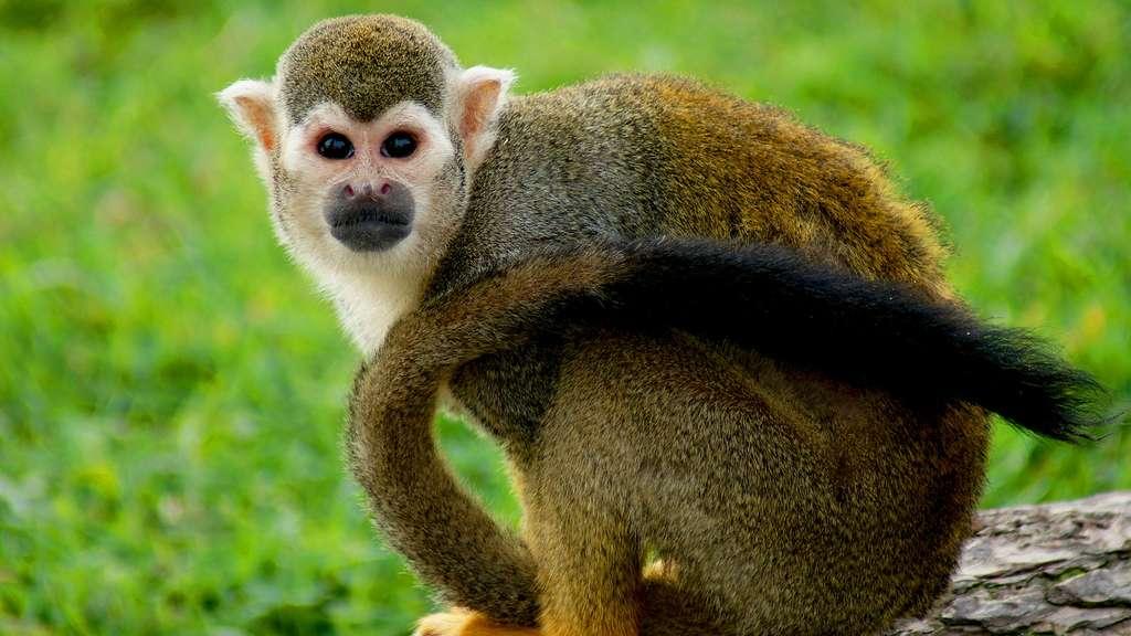 Le saïmiri ou singe-écureuil