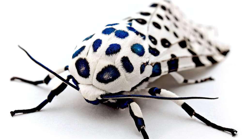 Un papillon aux allures de léopard
