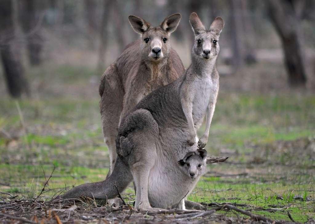 Kangourous géants avec un jeune dans la poche marsupiale de sa mère. © birdsaspoetry, Flickr, cc by nc sa 2.0